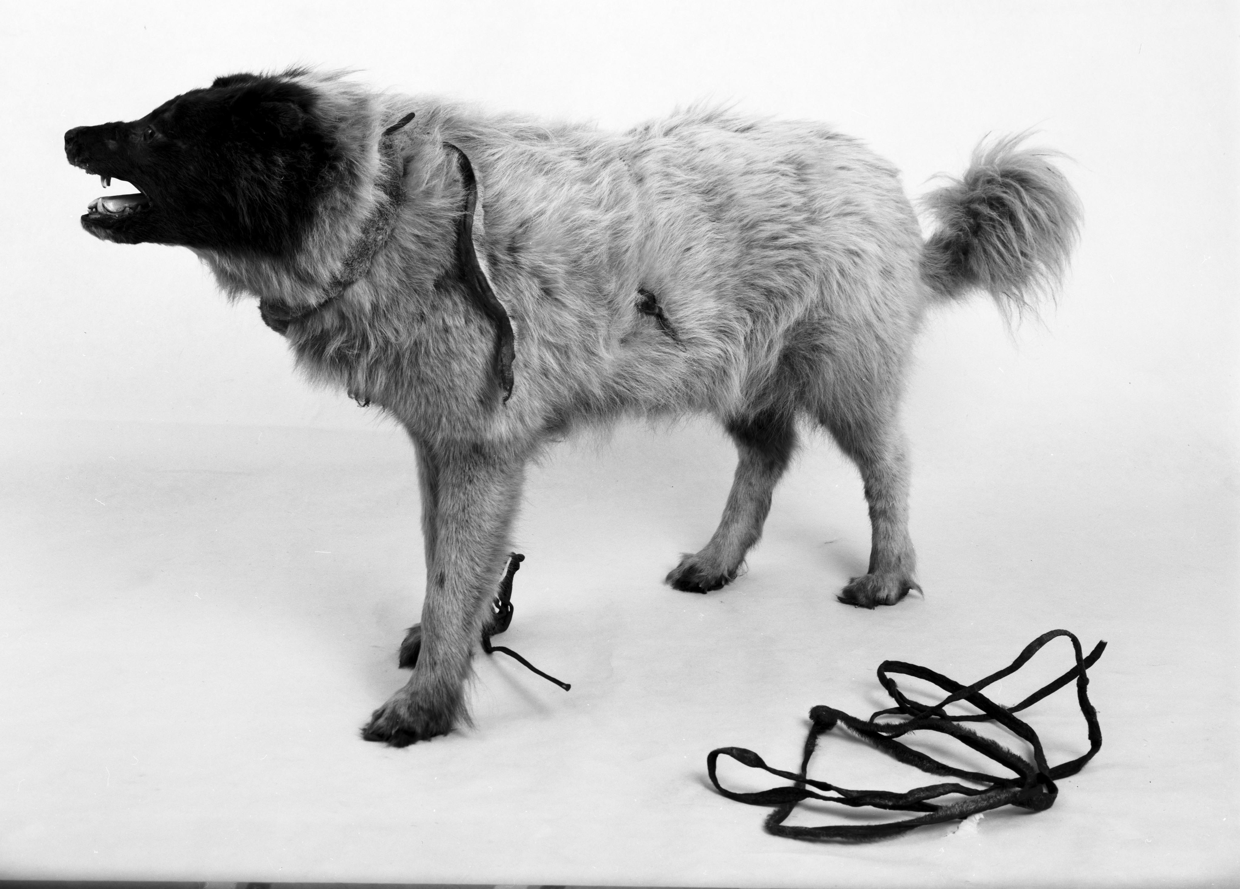 Utstoppet hund med hundesele