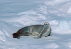 Did you know that the crabeater seal doesn't eat crabs?