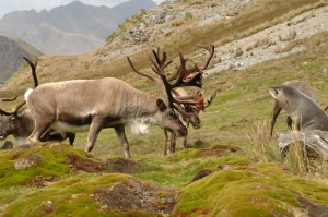 Reindeer and fur seals