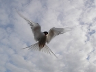Did you know that the Arctic tern flies between the Arctic and Antarctica?